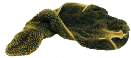 darmflora - green-tripe.png